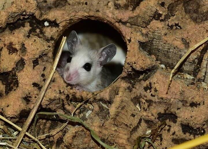 Cómo elminar ratas